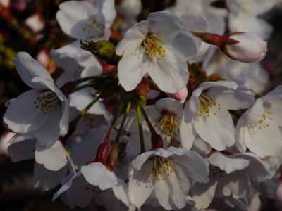 三分咲きくらいの赤穂御崎の桜