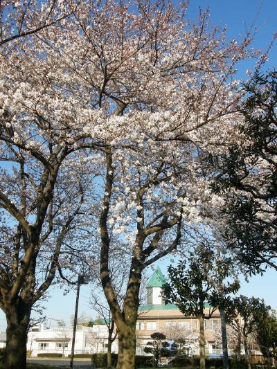 2012宮代総合運動公園のさくらを愛でる。