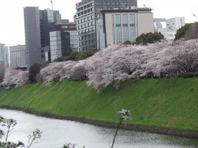 都心の桜たち