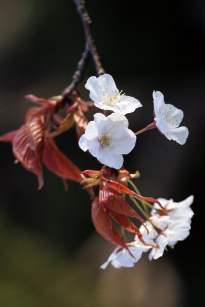 Solitary Journey [1021] さくらが綺麗でした~♪ (*^.^*) お花見&撮影会&夜は飲み会でした。<正観寺の山桜>広島県府中町
