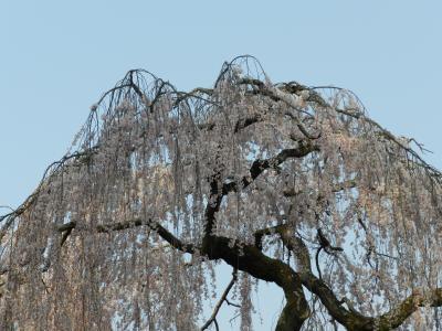 2012年桜だより◆速報!4月8日現在の奈良公園周辺の開花状況(猿沢池・浮見堂・氷室神社等)