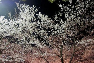 2012春、名古屋市内の夜桜見物(1)鶴舞公園の夜桜