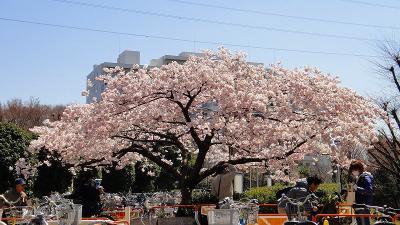 所沢市に帰っていたポトマック桜