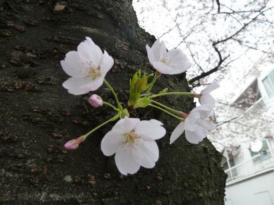 街あるき 桜爛漫 水道みち2012