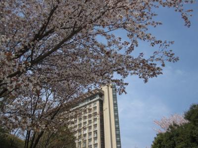 小田原ヒルトンで桜花見…続編桜のトンネル・桜の絨毯…綺麗でした。
