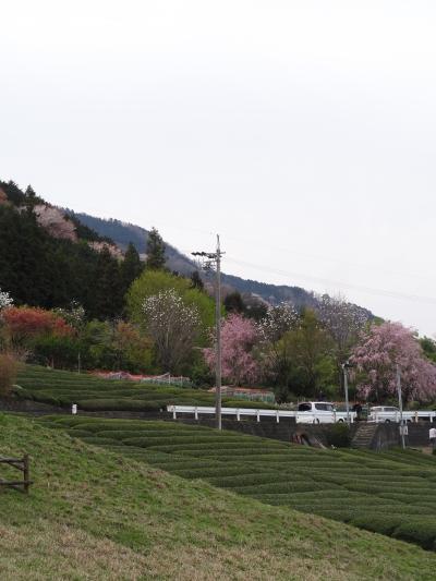 2012・地元の花見♪エトセトラ