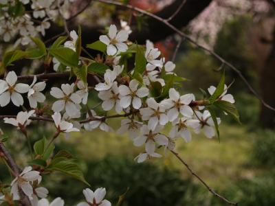 枝垂れ染井吉野、実は枝垂れ大臭桜-新宿御苑