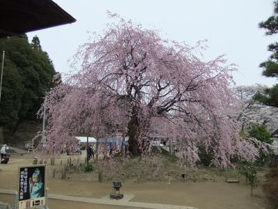 桜を追いかけ飯田市・麻績の里へ1(舞台桜)