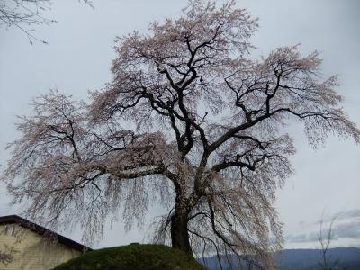 桜を追いかけ飯田市・麻績の里へ2(石塚桜)