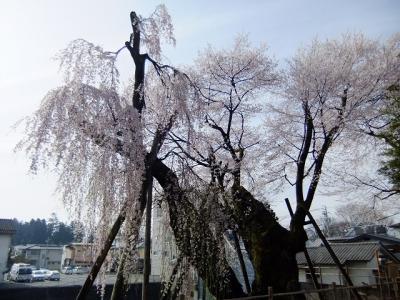 桜を追いかけて飯田市・桜丸御殿の夫婦桜