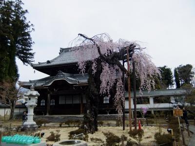 桜を追いかけ飯田市・正永寺の枝垂桜
