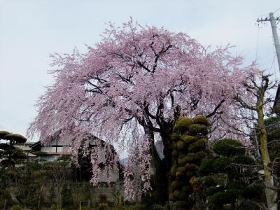 桜を追いかけ飯田市・黄梅院の枝垂桜