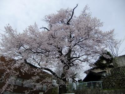 桜を追いかけ飯田市・加賀沢橋の桜と普門院跡の糸桜(三代目)