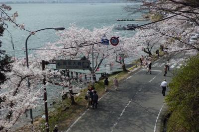 今年最後の花見かな? 満開の海津大崎の桜を見に行ってきました(*^。^*)