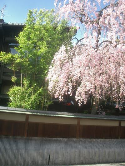 祇園の桜。あの事件の後で、楽しめなかった