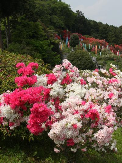 満開の越生の五大尊つつじ公園 Tsutsuji(Japanese azalea)garden in Ogose/Saitama