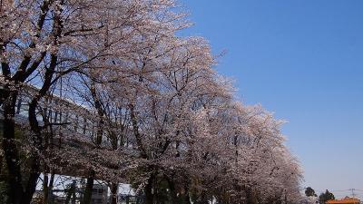 与野公園の花見