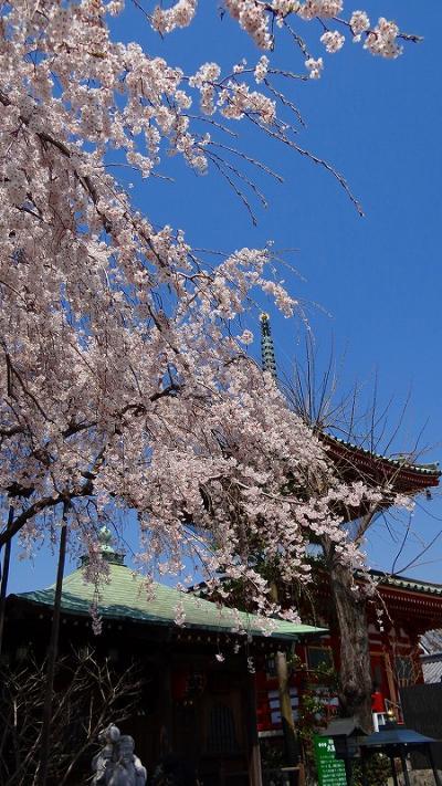 円乗院の千代桜は満開でした。