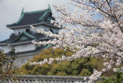 桜とお城シリーズ お花見 和歌山城桜祭り