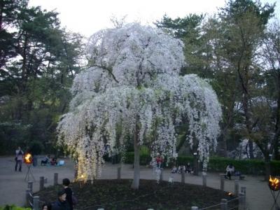 新潟の桜はこれからが見頃かな@じゅんさい池公園@