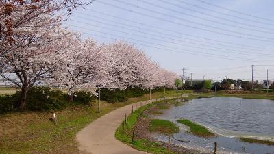 吉川市 中井沼公園と桜並木道の桜