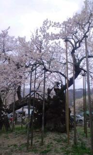 2012.04.20山高神代桜