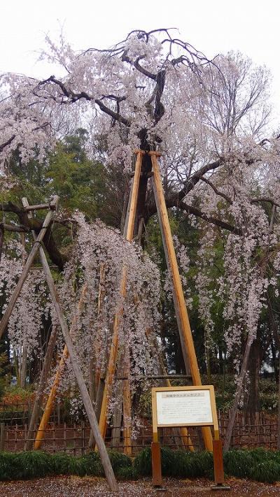 満願寺の枝垂れ桜は見頃でした。