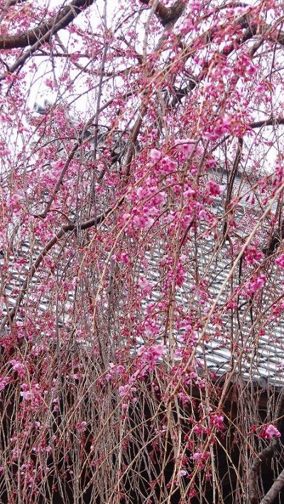 深谷市 弥勒院の枝垂れ桜