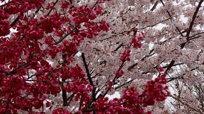 熊谷市さくら運動公園の観桜④ ウォーキング・コース近辺