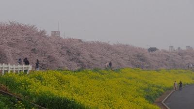 熊谷市 熊谷桜堤は満開でした。
