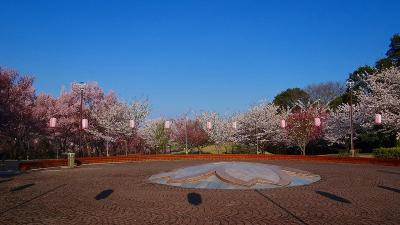 北本市 高尾さくら公園で品種別桜花の撮影。