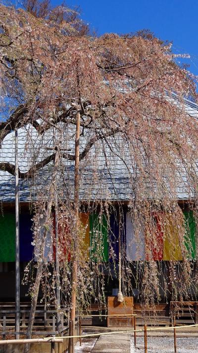 坂戸市 慈眼寺の枝垂れ桜