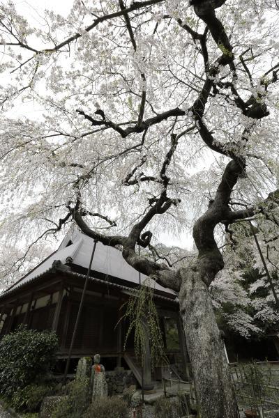 西光寺・大野寺 ~奈良:宇陀の桜巡り 2012 Part3~