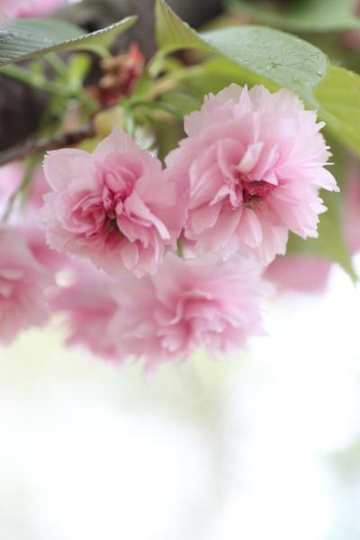 大阪造幣局 桜の通り抜け 2012