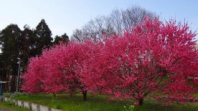 熊谷市 秩父往還(国道140号)沿いの薬師堂周辺の花見