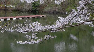 寄居町 円良田湖の花見