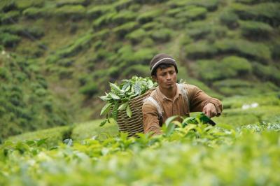 20120315 キャメロン・ハイランド ちょっとだけ市場 → 茶畑