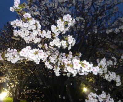 札幌・寒地土木研究所の千島桜が開花(2012年)