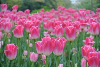 横浜公園のチューリップに会いたくて