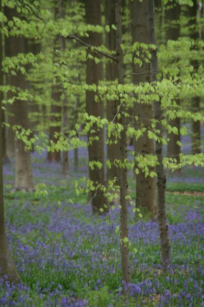 ブルーベルの花を見にハルの森へGO!/ Hal, Belgium