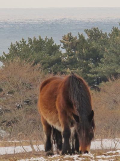 青森-2 尻屋崎 雪上に佇む寒立馬たち ☆放牧地で悠然として