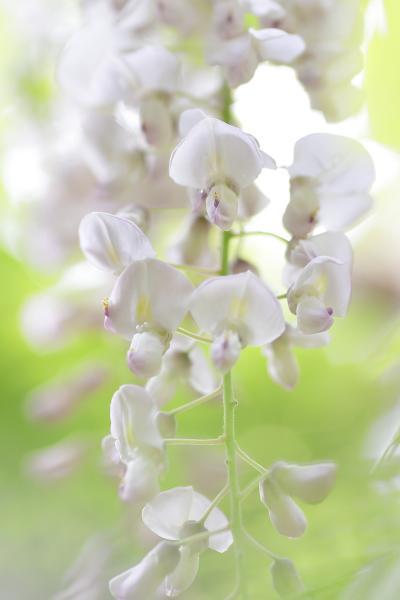 春日大社 万葉植物園の藤 2012