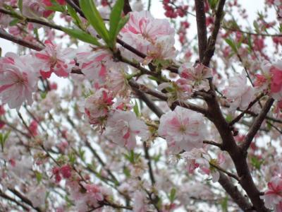 花桃の里~ヘブンス園原~光前寺 南信州の旅