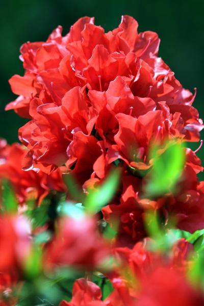 Solitary Journey [1049] 浜田~益田路ドライブ。春のお花観賞♪真っ赤な花色のツツジがきれいでした。<三隅中央公園>島根県浜田市