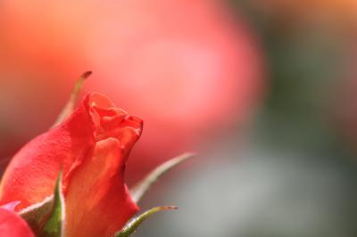 大きなる 紅ばらの花 ゆくりなく ぱっと真紅に ひらきけるかも 「靭公園(うつぼこうえん) バラ園」