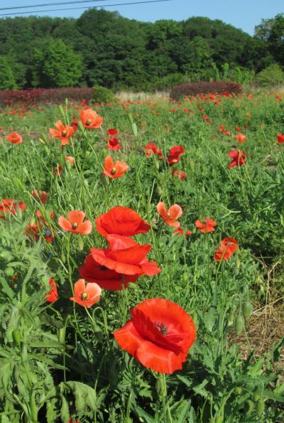 小さな旅 見頃の所沢市お花畑 Flower farm of Tokorozawa City in full bloom