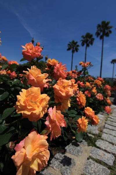 白ばらや 黄ばらの中を あゆみつつ 友と語りし やさしの思い出 「大阪市立 長居植物園」