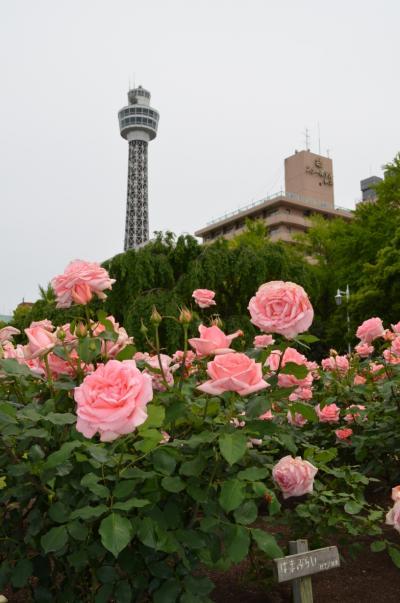 山下公園のバラを見に