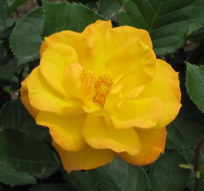 2012春、鶴舞公園のバラ(5:完)黒真珠、月光、花房、ゴールドマリー84、ニコール、イングリッド・ウェイブル