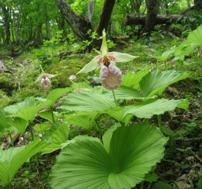 山の新緑  鈴鹿北部  神秘的な野生のお花に癒されて